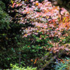 篠山市 龍蔵寺の紅葉 ロケーションフォト